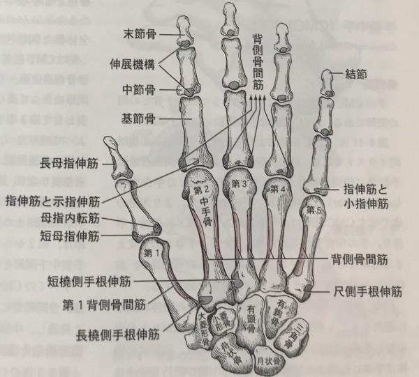 大菱形骨1−2背